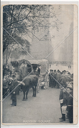 Oregon Trail commeroration? with Oxen in Madison Square