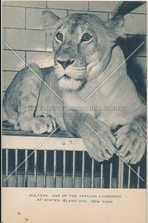 Lioness, Staten Island Zoo