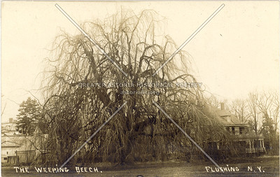 Weeping Beech Tree, 37 Ave., Flushing