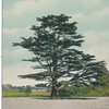 Cedar of Lebanon, Flushing, L.I.