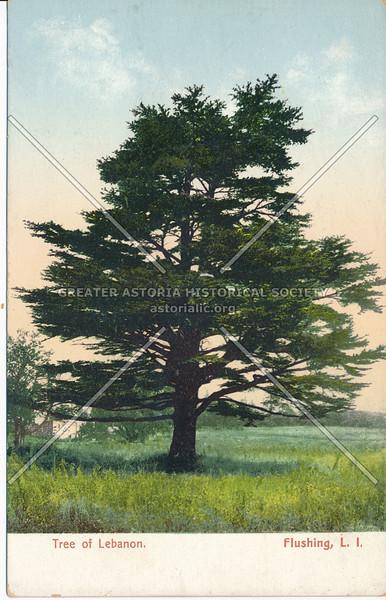 Cedar of Lebanon, Flushing, L.I.