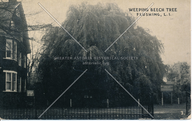 Weeping Beech Tree, 37 Ave, Flushing, L.I.