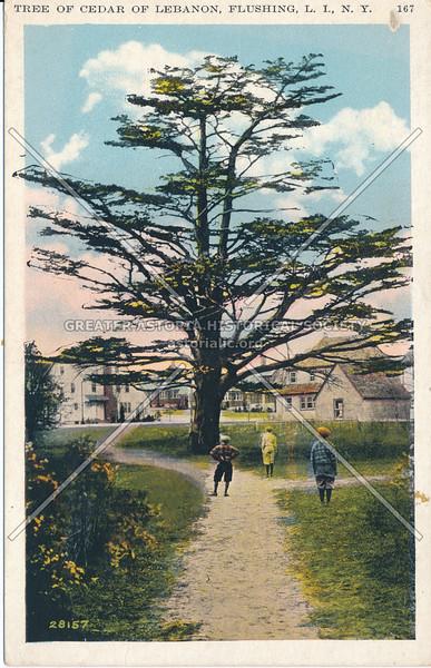 Cedar of Lebanon, Flushing, L.I., N.Y.