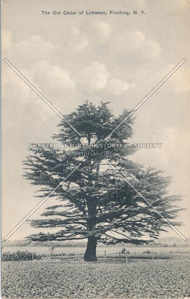 Cedar of Lebanon, Flushing, N.Y.