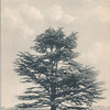 Cedar of Lebanon, Flushing, N.Y.