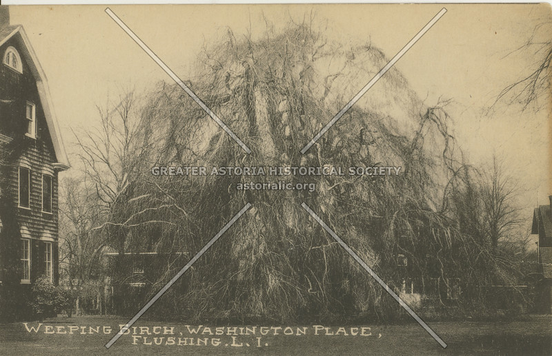 Weeping Beech Tree, 37 Ave, Flushing