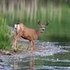 28 June 2017  Mule deer, Stagecoach Reservoir, Oak Creek, Colorado.