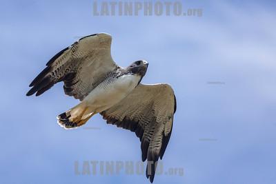 Argentina : Geranoaetus albicaudatus © Enrietti