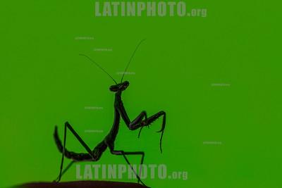 Argentina : mantis - Campo a 23 km al N del paraje Tres Palmas , Chaco / Mantis, province of Chaco / Argentinien : Fangschrecke - Gottesanbeterinnen © Silvina Enrietti/LATINPHOTO.org