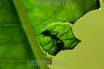 Argentina : leafcutter ant ( Acromyrmex sp. ) , Salta province / Argentinien : Ameise auf einer Pflanze © Silvina Enrietti/LATINPHOTO.org
