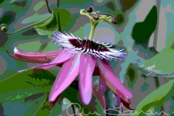 Passion flower6