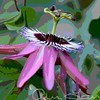 Passion flower6