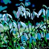 Snowdrop Poster