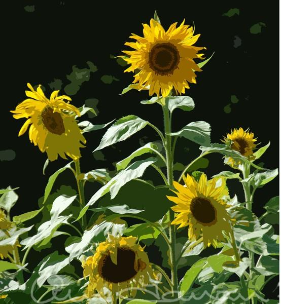 Sunflowers Berkshires