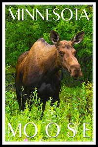 MN moose1a