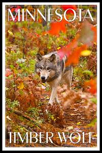 MN wolf1