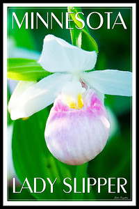 MN lady slipper