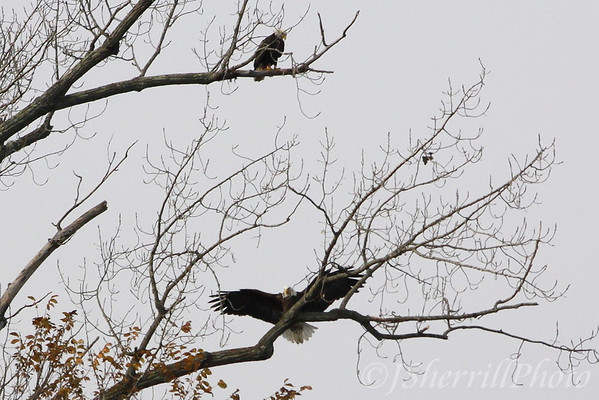 Eagles on the Potomac