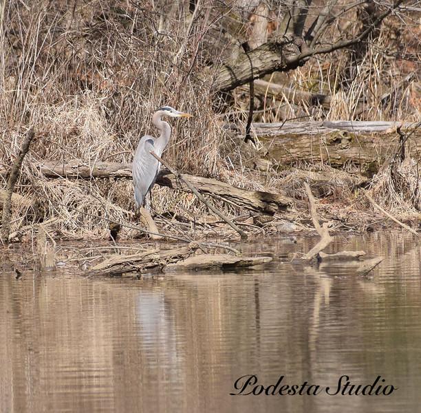 Zen Heron