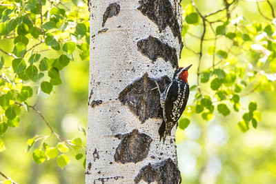 Red-naped Sapsucker male in park along Pine Creek in Pinedale WY  IMGC1737