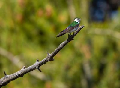 Violet-green Swallow in park along Pine Creek in Pinedale WY  IMGC1579