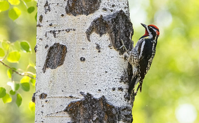 Red-naped Sapsucker male in park along Pine Creek in Pinedale WY  IMGC1726