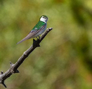 Violet-green Swallow in park along Pine Creek in Pinedale WY  IMGC1598