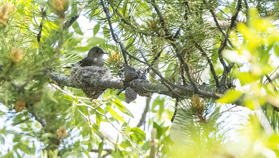 Western Wood-Pewee nest in park along Pine Creek in Pinedale WY  IMGC1744