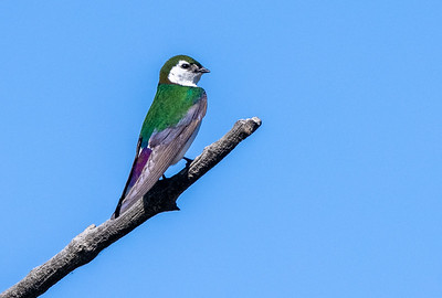 Violet-green Swallow in park along Pine Creek in Pinedale WY  IMGC1576