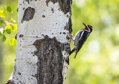 Red-naped Sapsucker male in park along Pine Creek in Pinedale WY  IMGC1722