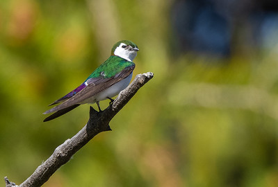Violet-green Swallow in park along Pine Creek in Pinedale WY  IMGC1580