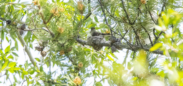 Western Wood-Pewee nest in park along Pine Creek in Pinedale WY  IMGC1749