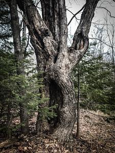Screaming tree Rock Pond UMD Duluth MN  IMG_7169