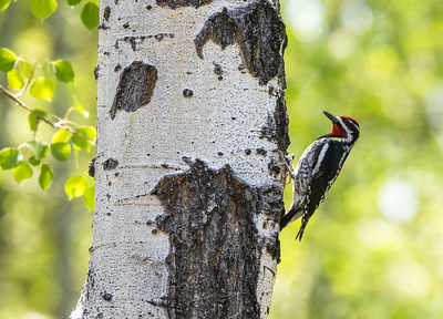 Red-naped Sapsucker male in park along Pine Creek in Pinedale WY  IMGC1716
