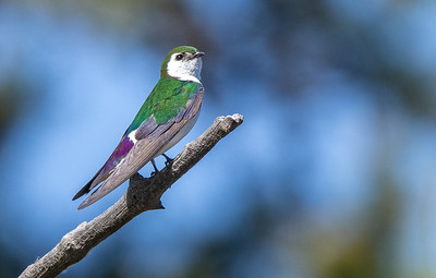 Violet-green Swallow in park along Pine Creek in Pinedale WY IMGC1608