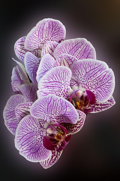 """3/2013:  """"Floating Orchid,"""" at home.  Slight cropping and a Gaussian Blur filter create the illusion of floating."""