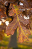 10/2012:  Autumn leaves, at home