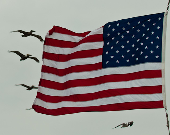 American Flag and Brown Pelicans and Gulls