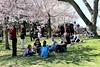 Tourists Among the Cherry Blossoms