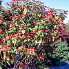 Poinsettia Tree, Old san Diego, Trip to San Francisco, San Diego and Phoenix, December 1978