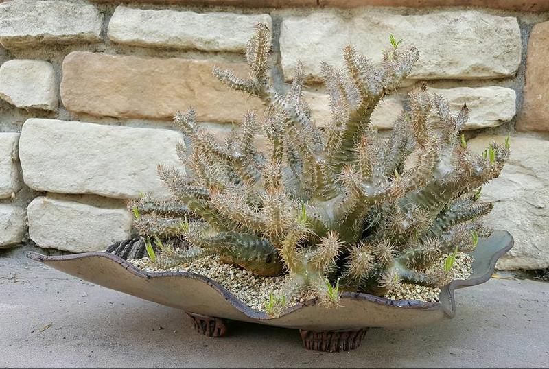 Pachypodium rosulatum var. gracilis