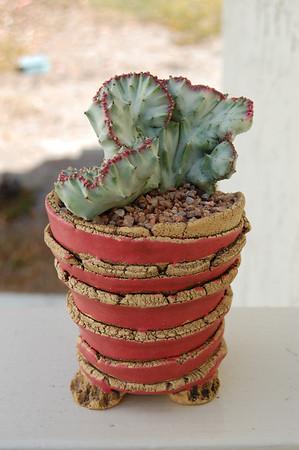 Variegated Euphorbia Lactea crest