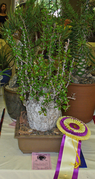 Fouquieria Fasciculata shonw by Keith Taylor got a rosette -