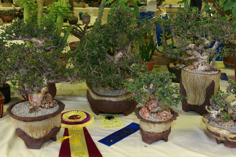 "Our Bursera Simplicifolia Collection got a Rosette -  See more pictures of these trees <li><a href=""http://www.ankhworks.com/Pottery/Bursera-Simplicifolia/9330474_yurzH#623942011_WF69q"">Bursera Simplicifolia</a></li>"
