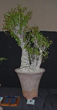 Fouquieria Fasciculata shown by Larry Grammer