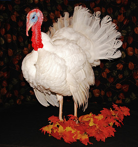 Young White Beltsville Tom Turkey  Happy Thanksgiving!