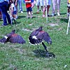 Golden Eagles at the Sussex County, PowWow