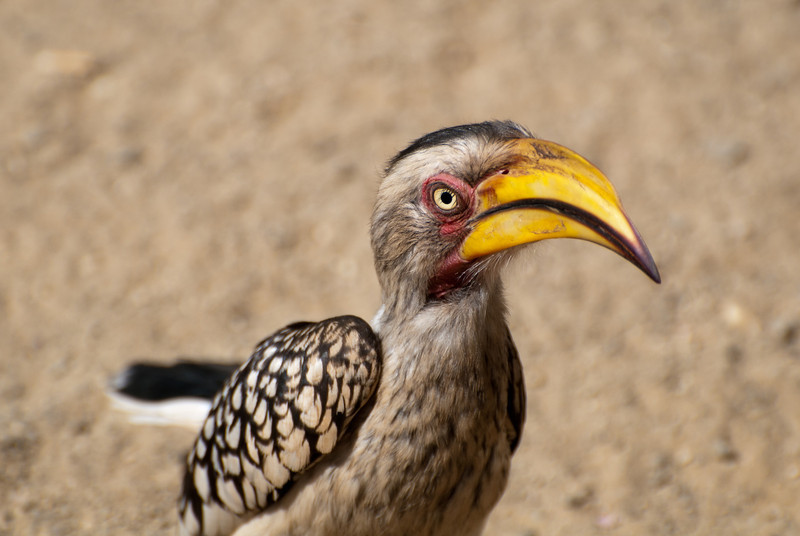 """<span id=""""title"""">Hornbill</span> <em>Kruger National Park</em> You may remember this bird as Zazu from The Lion King. It was the first animal that didn't run away from us on the first night's sunset drive and we were all excited and took a lot of photos. Little did I know they would be <em>everywhere</em>. They're still cool birds, but the novelty ran out very quickly."""