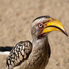 "<span id=""title"">Hornbill</span> <em>Kruger National Park</em> You may remember this bird as Zazu from The Lion King. It was the first animal that didn't run away from us on the first night's sunset drive and we were all excited and took a lot of photos. Little did I know they would be <em>everywhere</em>. They're still cool birds, but the novelty ran out very quickly."
