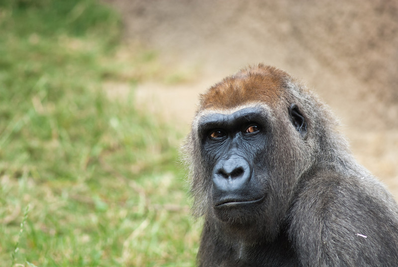 """<span id=""""title"""">Evelyn</span> A sign next to the gorilla exhibit said that this was Evelyn, the oldest female who did not shy away from eye contact. Seriously, she was giving the crowd the evil eye for like five minutes."""